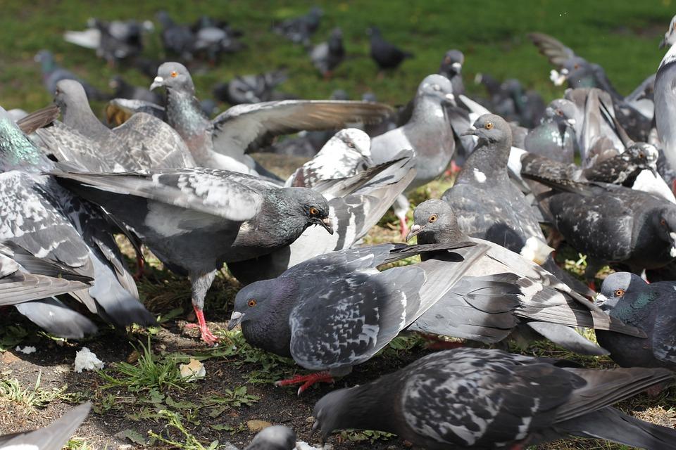 鴿子成群需要防範